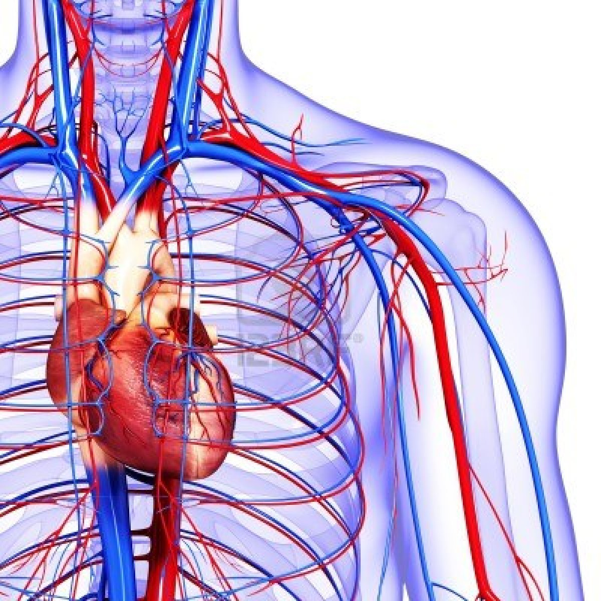 heart cardiac cycle and the circulatory system The heart (left side) receives blood filled with oxygen (o2) which comes from the lungs from there the blood is pumped throughout the body via the aorta.