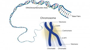The Anatomy of the Chromosome