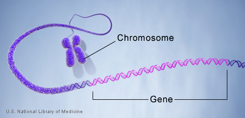 understanding the science of the chromosomes and its genetic characteristics Genes are packaged in bundles called chromosomes humans have 23 pairs of chromosomes, resulting in 46 individual chromosomes of those pairs, one pair, the x and y chromosome, determines whether you are male or female, plus some other body characteristics.
